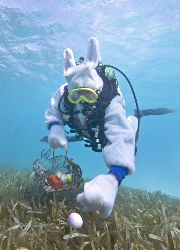 Spencer Slate, costumed as a scuba-diving Easter bunny, hides eggs amid eel grass Sunday in the Florida Keys National Marine Sanctuary off Key Largo. About 80 adults and children participated in an Underwater Easter Egg Hunt, seeking real hard-boiled eggs painted with non-toxic food coloring to avoid adverse effects on the marine ecosystem. Credit: Bob Care, Florida Keys News Bureau