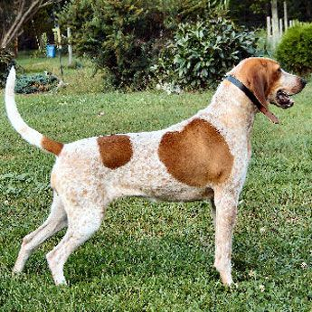 AMERICAN ENGLISH COONHOUND (Hound Group)  A descendant of English Foxhounds, the American English Coonhound, also known as  was bred from Virginia Hounds. Used to hunt fox by day and racoons by night.