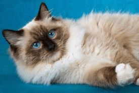 Ragdoll Kitten - Ragdoll, Ragamuffin, Teacup and Munchkin Kittens For Sale