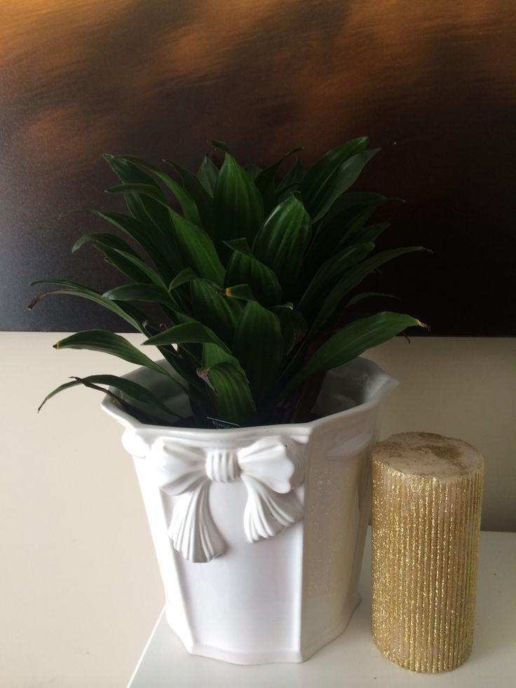 315 best dracaenas images on pinterest dracaena plant