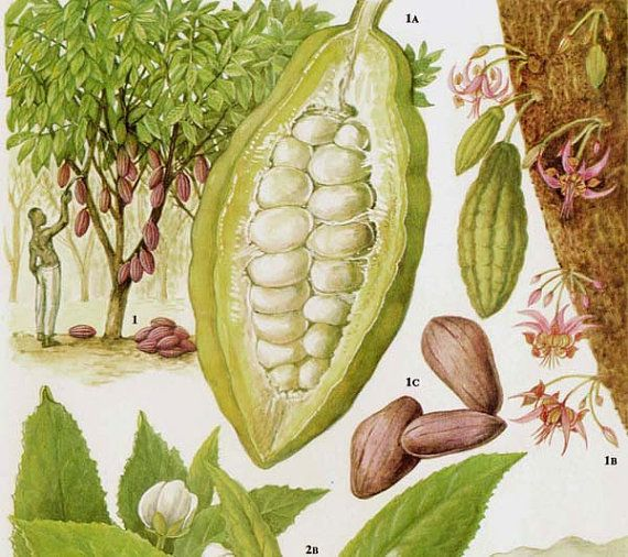 Cocoa Beans & Pods Chocolate Food Chart Vegetable Botanical Lithograph Illustration For Your Vintage Kitchen 113