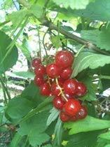 Super simple Red Currant JamRecipe