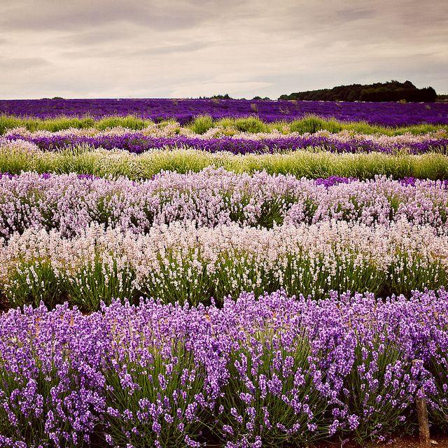 Lavender. My favorite