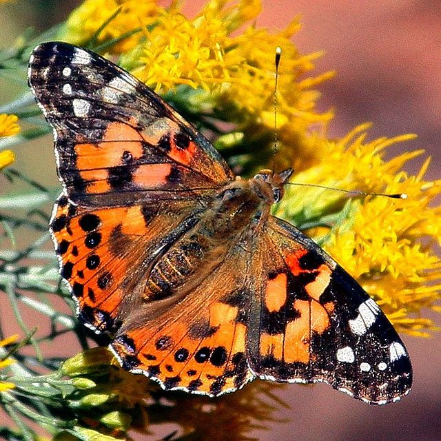 17 best images about painted lady butterfly on pinterest