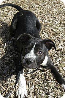 McKinney, TX - Border Collie/Boxer Mix. Meet Austin, a puppy for adoption. http://www.adoptapet.com/pet/12559075-mckinney-texas-border-collie-mix