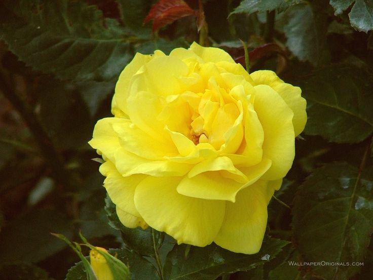Friesia (Sunsprite) - Floribunda Rose