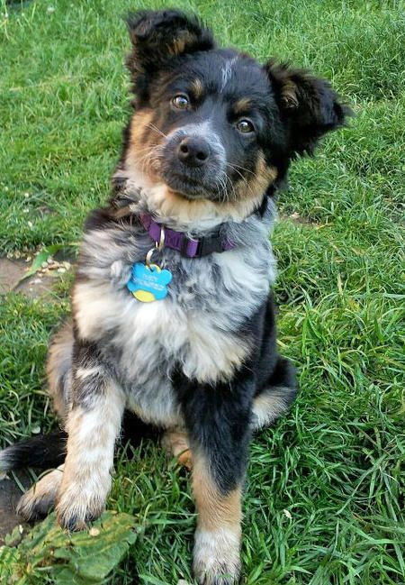 Dusty the Australian Shepherd Mix :) - Oh what a big sweetie!!