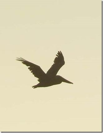Pelican silhouette tattoo would be a perfect reminder of Klamath Falls (: