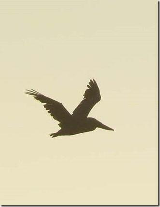 Pelican silhouette                                                                                                                                                      More