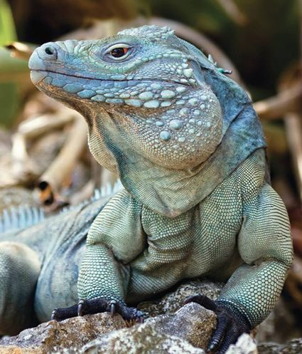 Just a decade ago, the Grand Cayman blue iguana was on the brink of extinction, with only 10 to 25 individuals left in the wild. But the reptile has made a major comeback and is no longer listed as a critically endangered species. The blue iguana, which is only found on the Caribbean island Grand Cayman, now has a population of about 750 thanks to a recovery program. And over the weekend, the IUCN updated its listing of the species from critically endangered to endangered.