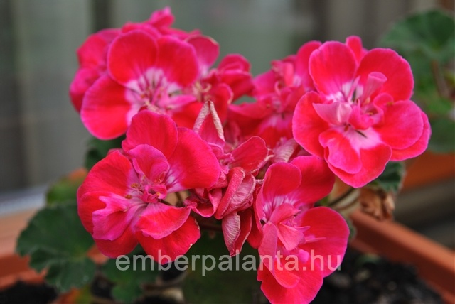 Muskátli/Pelargonium