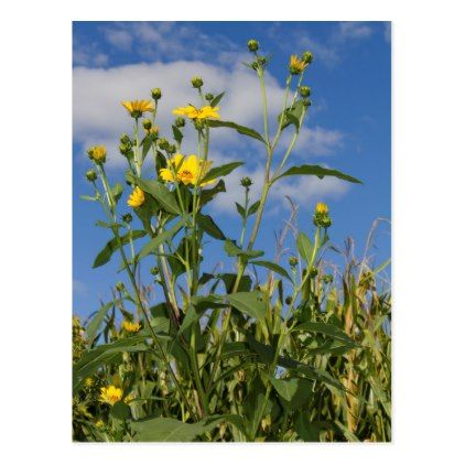 Wild Sunflowers in Cornfield with Blue Sky Photo Postcard - photos gifts image diy customize gift idea