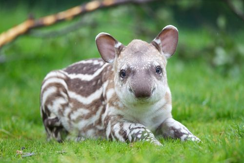 Baby tapir photos at link! Kids never know what these are when they're mentioned/shown. These photos are a super cute introduction.