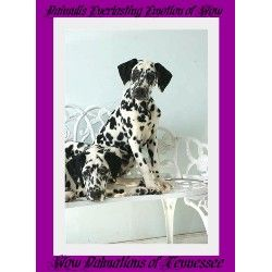 Dalmatian breeder in Livingston