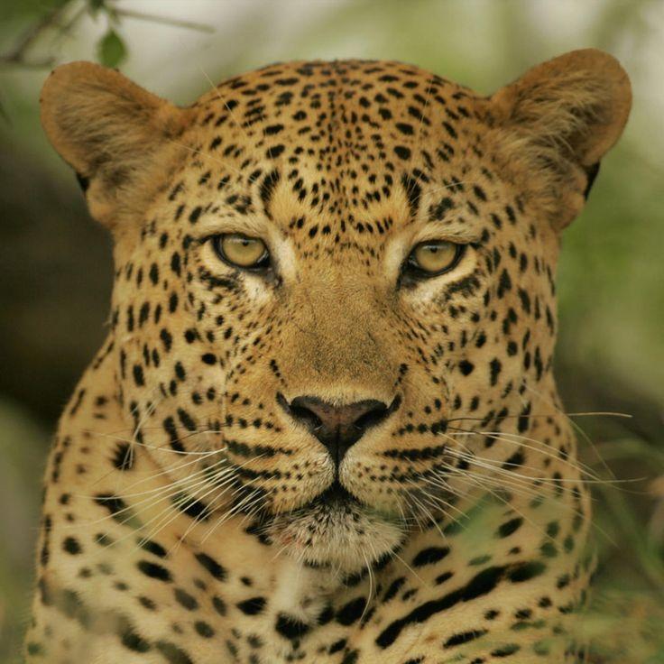 Jaguar Felis Onca: 17 Best Images About JAGUARS On Pinterest
