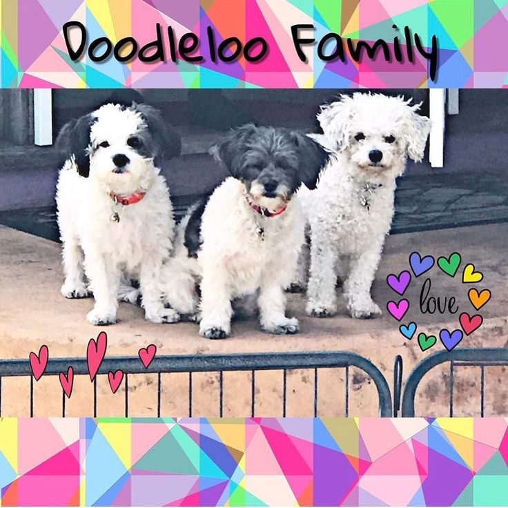 Do I love my Doodle loo family? why yes I do!! I was leaving to teach at the college and they looked at me like I was going to abondon them.  Look at those faces???   Mom where are you going?  wait!!! come back!!   #Sillyleaderday #rsgcommunity #zoomboom #BAM #latinaleader #balancedlifesuccess #teamonepoweroneenergy #latinaspeaker #latinaleadercreator #yogalatina #namaste #funforaday #funforlife #cancersurvivor #cancerthriver #ilovemylife #iamacreator #ichoosefuntasticisland #findingmybrand…