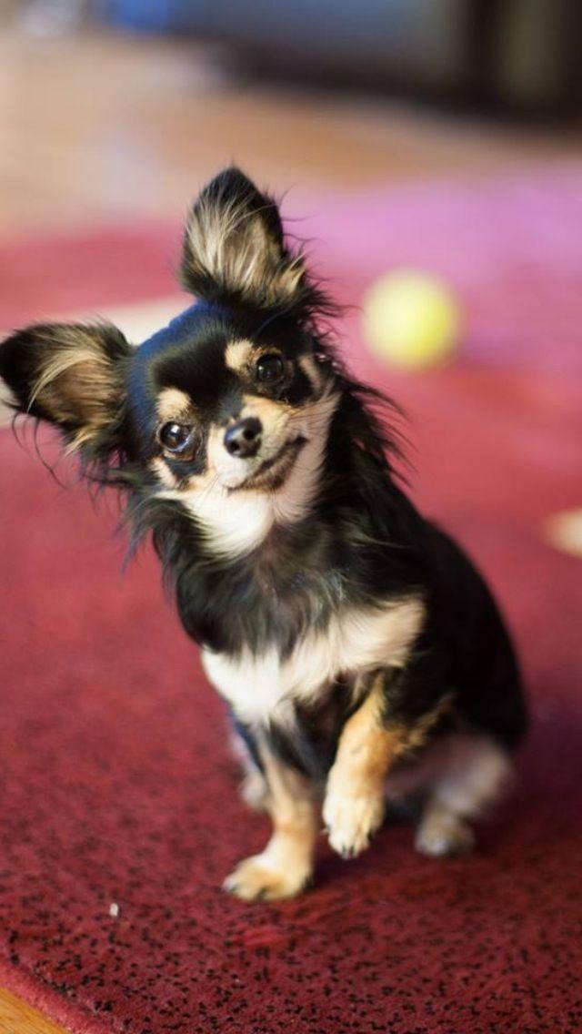 Whatcha say? Chihuahua