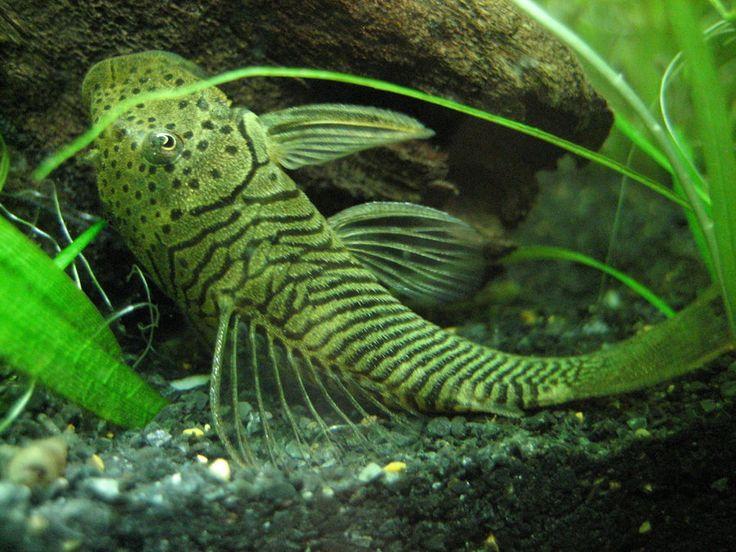 Giant pleco fish nature sea for Freshwater sucker fish