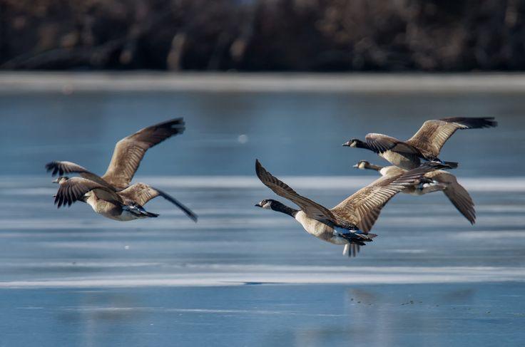 Spring Lake Geese Spring lake, Animals, Spring