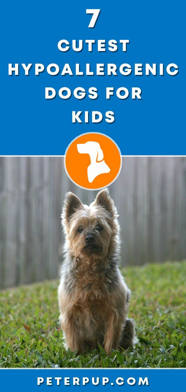7 Best Recommended Small Hypoallergenic Dogs With Images Dog Breeds That Dont Shed Dogs And Kids Hypoallergenic Dogs Small