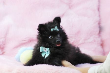 ✯ ✰ ★Pomeranian Potro AVAILABLE NOW! ✯ ✰ ★ How can you resist that face?! ►954-353-7864 ► www.teacuppuppiesstore.com  #pomeranian #pom #boo #boolookalike #boothepomeranian #toy #teacup #micro #pocketbook #teacuppuppies #teacuppuppiesstore #tiny #teacuppuppiesforsale #teacuppomeranian #teacuppom #small #little #florida #miami #fortlauderdale #bocaraton #westpalmbeach #southflorida #miamibeach #cute #adorable #puppy #puppiesforsale #puppylove