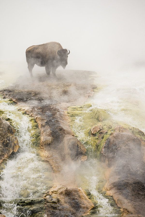 """Bison, Yellowstone National Park, Wyoming .. Photo by Peter Caims """"This bison was taking some respite from the bitter cold in a geothermal run -off which provided a bit of warmth""""."""