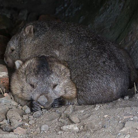 PHOTO: Wombats are one of my favourite Australian animals.  We got to see these two curled up together on Maria Island just of the east coast of Tasmania.