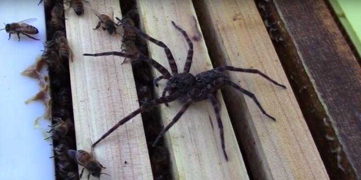 Creepy beelden: gigantische spin jaagt op bijen, maar die besluiten om zich niet te laten doen