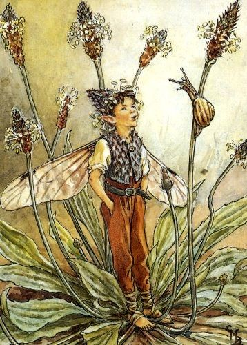 The Ribwort Plantain Fairy, by Cicely Mary Barker.