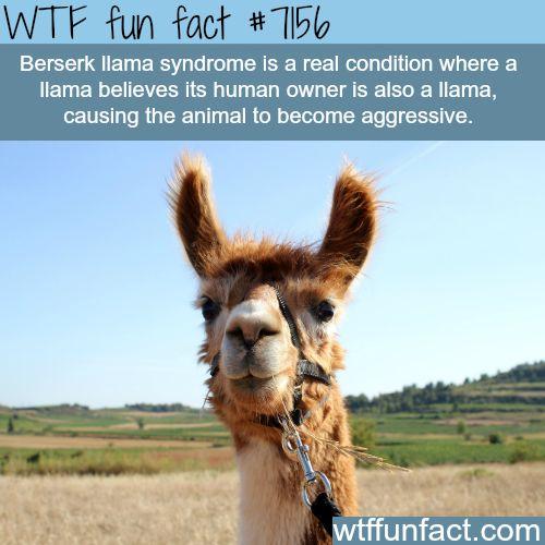 Berserk llama syndrome - WTF Fun Fact