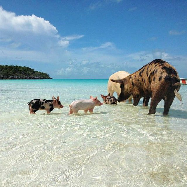 George Orwell wasn't wrong when he proposed the similarities between human and pig in Animal Farm; scientists have since determined that both man and swine are adaptable, easy to seduce with food, and susceptible to domestication. We're also bound by a shared eternal wanderlust and, apparently, love to lounge on the beach. Case in point: Big Major Cay …