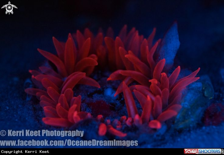 Fluorescent Photography - Anemone  in Longbeach - Cape Town - Southafrica
