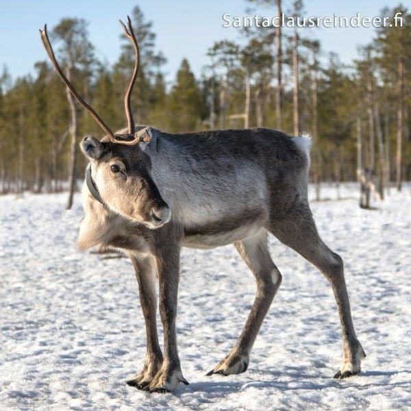 Female reindeer at Santa Claus Reindeer farm in Rovaniemi in Lapland