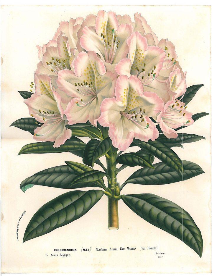 Antique Flower Van Houtte Lithograph C 1860 Vintage