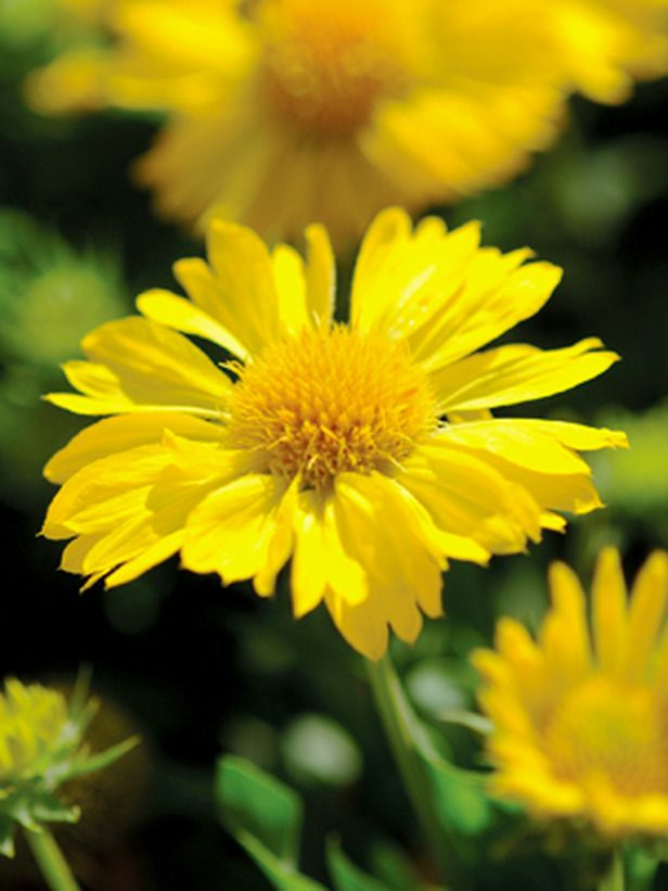 17 best images about heat tolerant plants on pinterest gardens sun and flower - Flowers that love full sun and heat ...