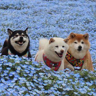 Beautiful Shiba Inu trio...Doggies!