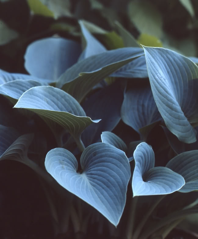 Hosta Halcyon. stays were it is placed and when placed next to a yellow plant it makes the yellow yellower while appearing itself much bluer. - nobody should touch her delicate white/blue coating called bloom. It is sensitive to touch and where you touch it will become green and the blueness will not return until the next season.