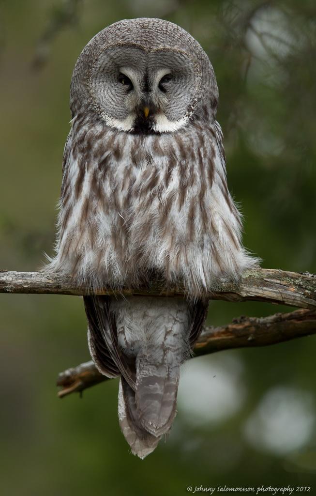 Best 25+ Great grey owl ideas on Pinterest   Owls ...
