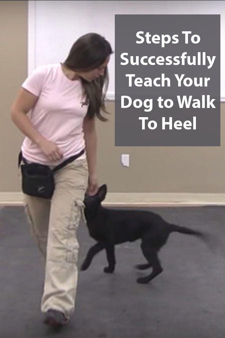 Dog Training Teach Your Dog To Walk To Heel Dog Training Dogs