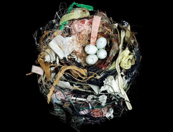 The nest of a house finch (Carpodacus mexicanus) Image: Sharon Beals