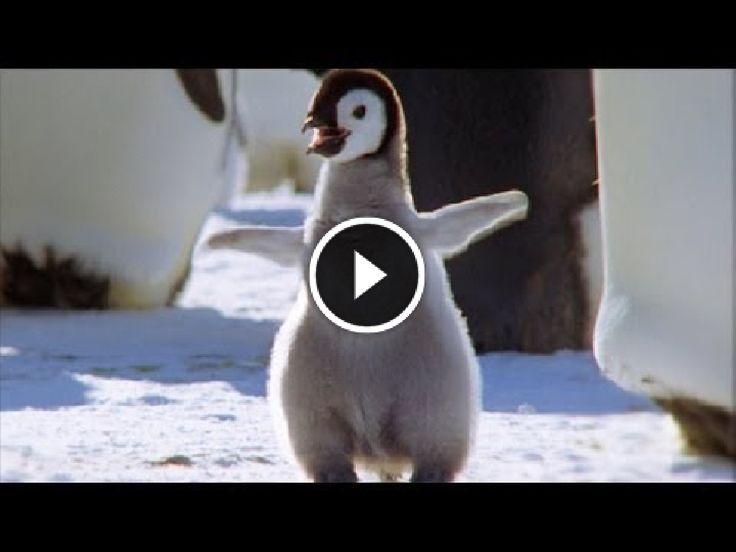 Video e immagini divertenti ogni giorno: Cucciolo di pinguino reale ... tenerissimo!