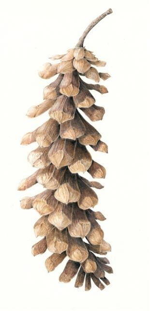 Woodland fir cone