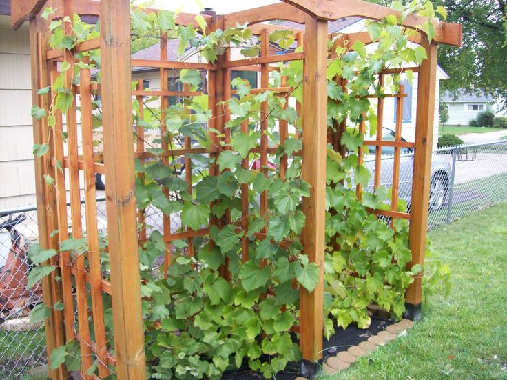 Grape trellis grape vines pinterest grape trellis and trellis - Backyard trellis designs photos ...