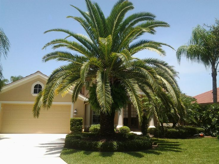 Canary Island Date Palm Or Pineapple Date Palm 14 Feet