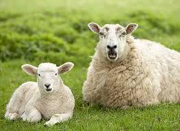 Wypas owiec? Tylko u Nas ! http://puszystaowca.pl/wypas-owiec-jozefow/