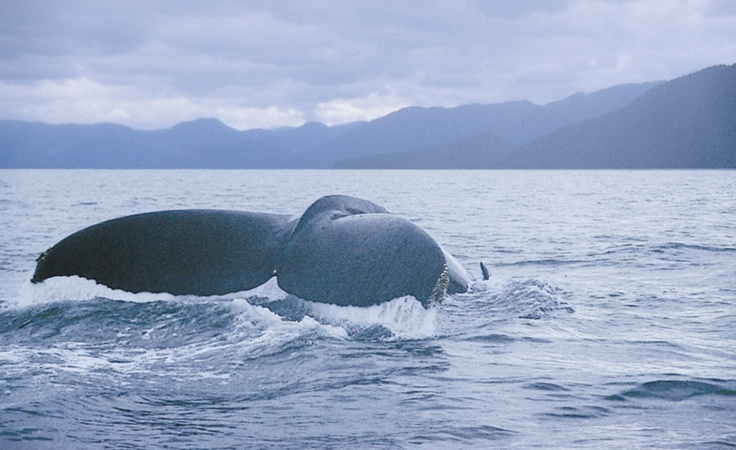 Late in July and throughout August and September the humpback whales return from their Hawaiian wintering, making this the perfect time for humpback whale watching at King Pacific Lodge, A Rosewood Resort in Canada