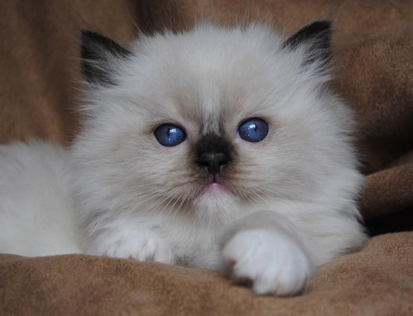Ragdoll Cats Photo Gallery- BlueGem Ragdolls - Ragdoll Breeder Ohio