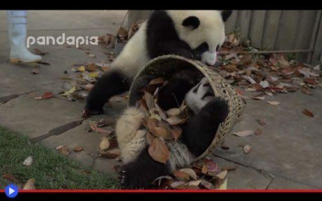 La comica caparbietà dei cuccioli di panda In quel giorno memorabile fu chiaro a tutti fin da subito che c'era stato un forte vento, tra le fronzute recinzioni della Base di Ricerca di Chengdu per l'Accoppiamento dei Panda (BDRCPLAP?) O in al #animali #panda #cuccioli #carino #zoo
