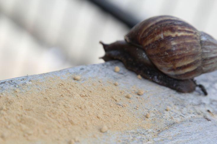 Get rid of snails slugs in garden snails in garden snail