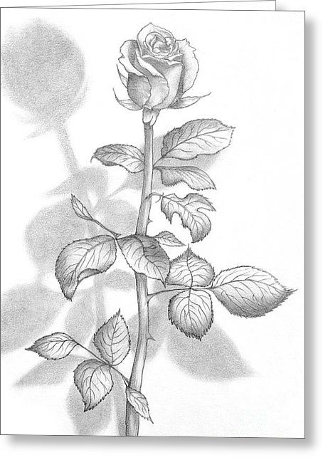 Pencil Drawing Of A Beautiful Rose Greeting Card by Evelyn Sichrovsky